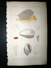 Cuvier C1835 Antique Hand Col Print. Shells #24A